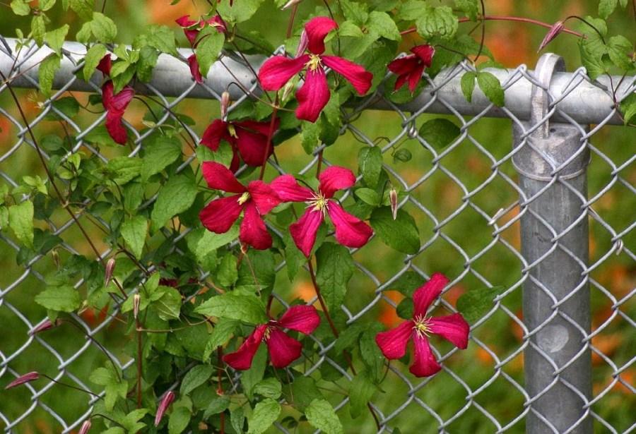 ليانا للحديقة - النباتات المعمرة ومقاومة الصقيع لتزيين الحديقة