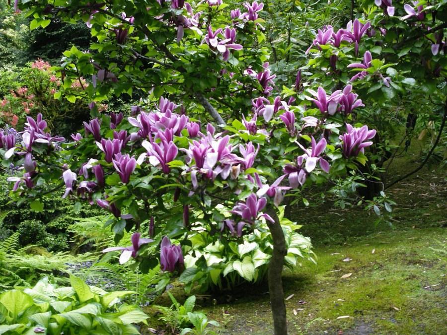 TSvetyi magnoliya 19