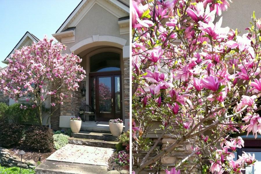 TSvetyi magnoliya 2
