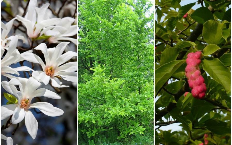 TSvetyi magnoliya 25