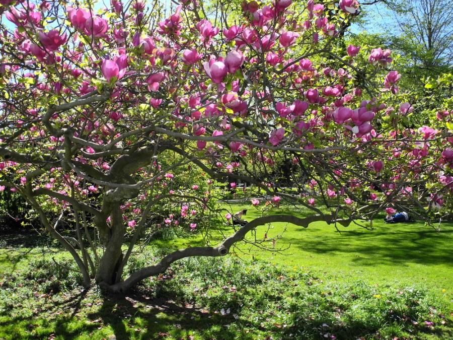 TSvetyi magnoliya 32