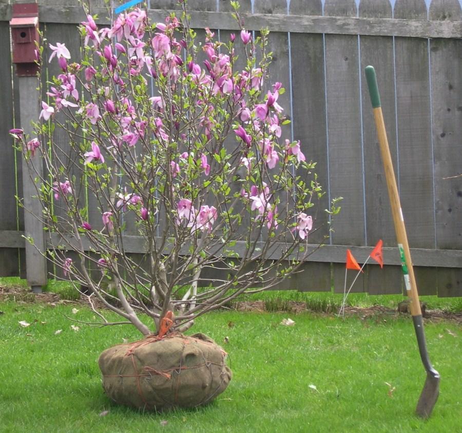 TSvetyi magnoliya 36