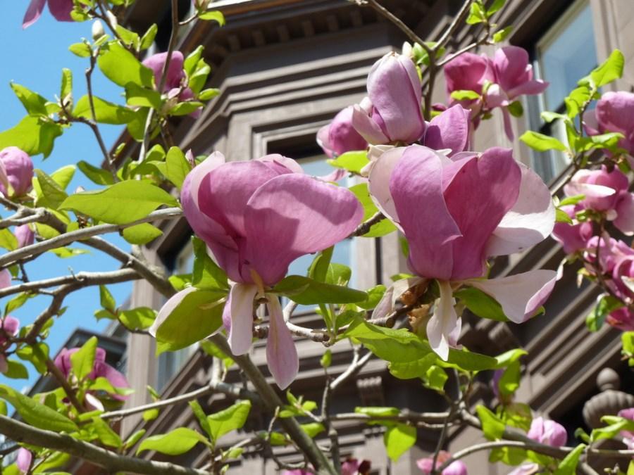 TSvetyi magnoliya 4