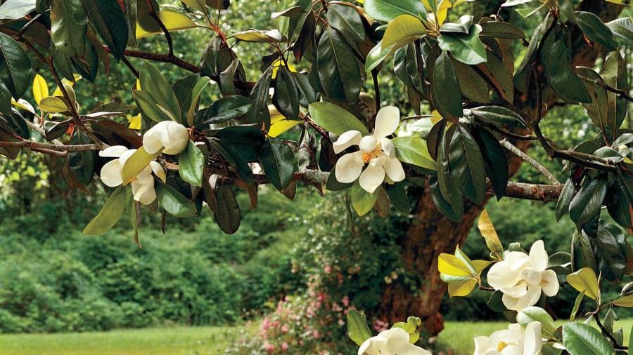 TSvetyi magnoliya 40