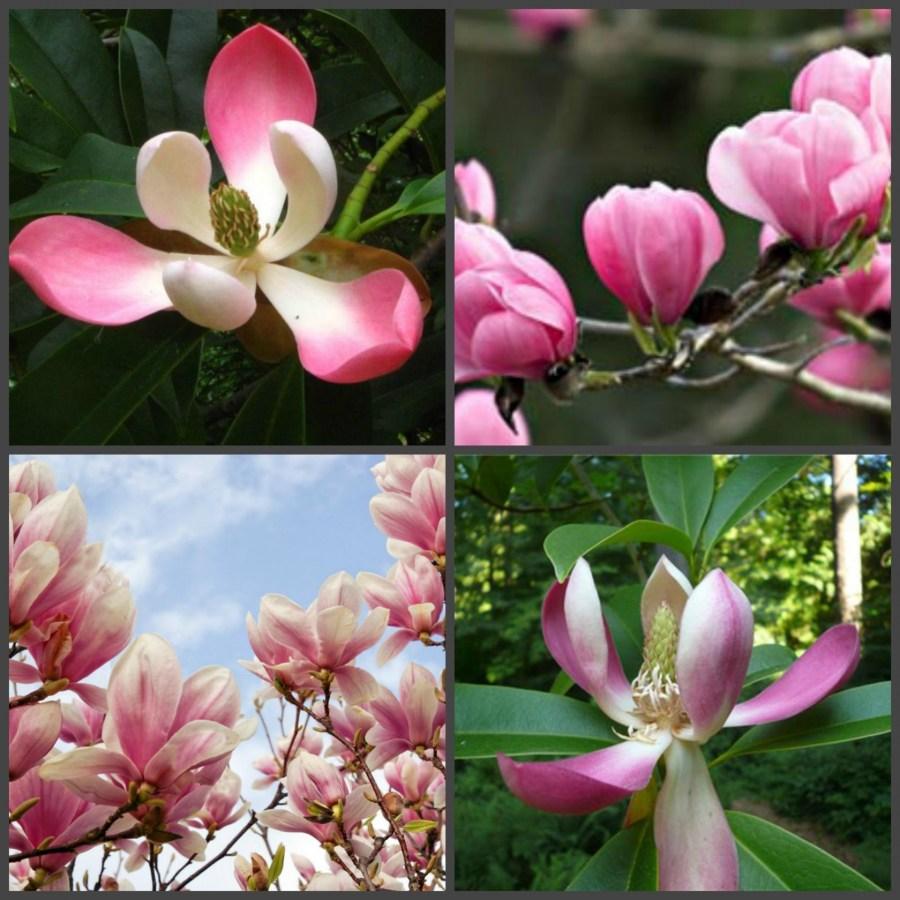TSvetyi magnoliya 42