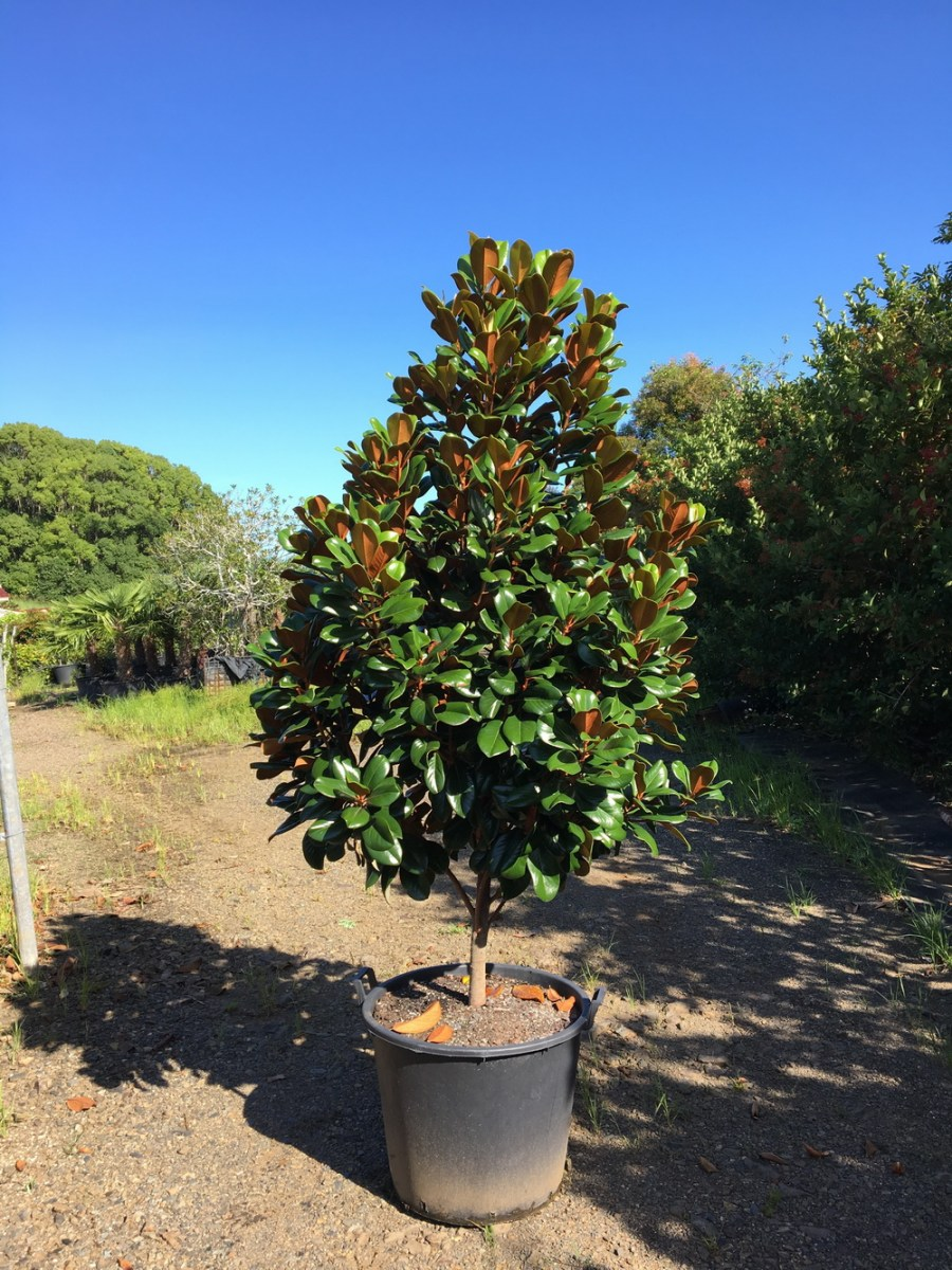 TSvetyi magnoliya 45