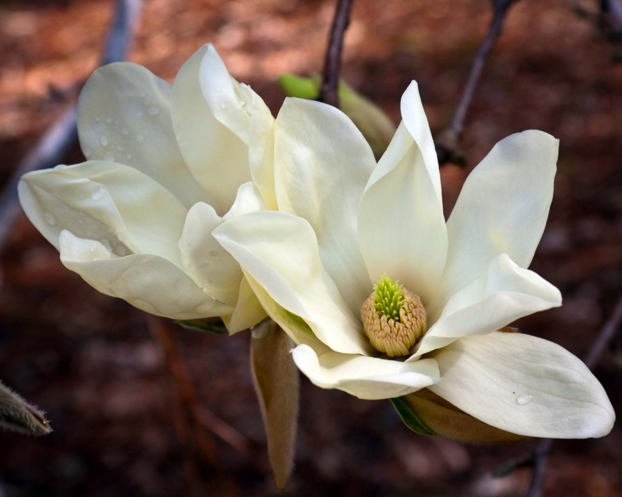 TSvetyi magnoliya 46