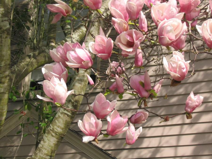 TSvetyi magnoliya 47