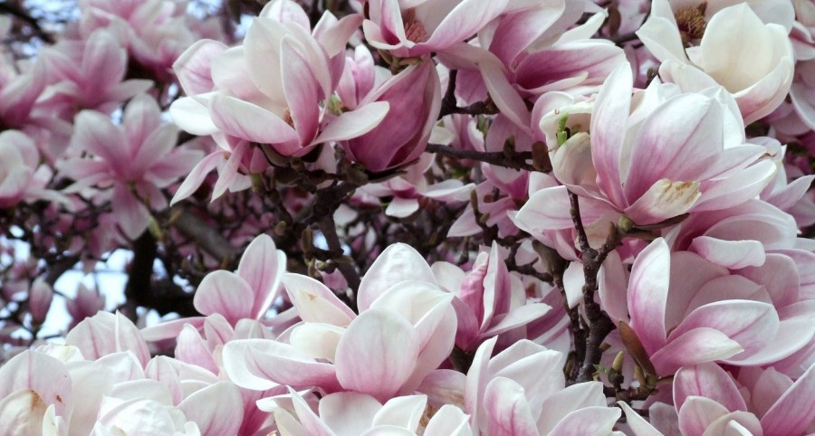 TSvetyi magnoliya 48