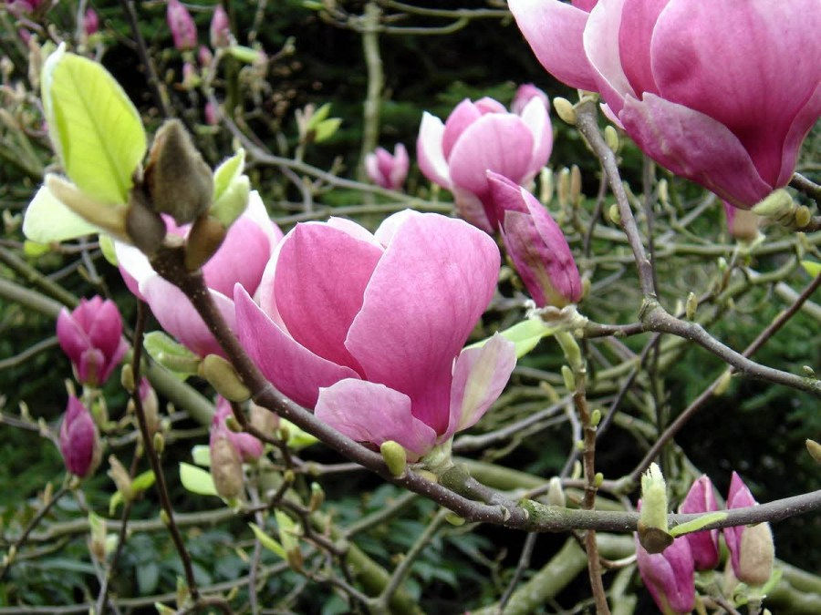 TSvetyi magnoliya 49