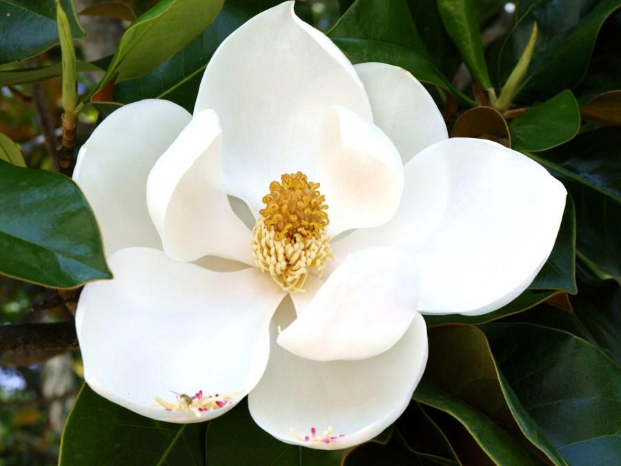 TSvetyi magnoliya 55
