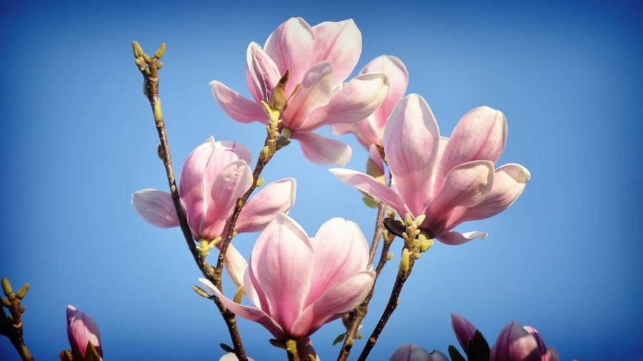 TSvetyi magnoliya 62
