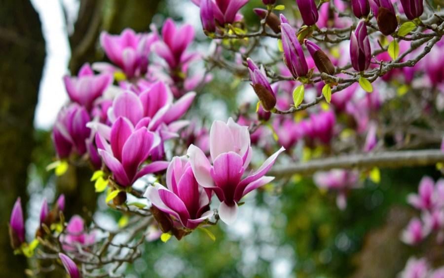 TSvetyi magnoliya 63