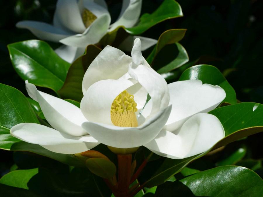 TSvetyi magnoliya 64