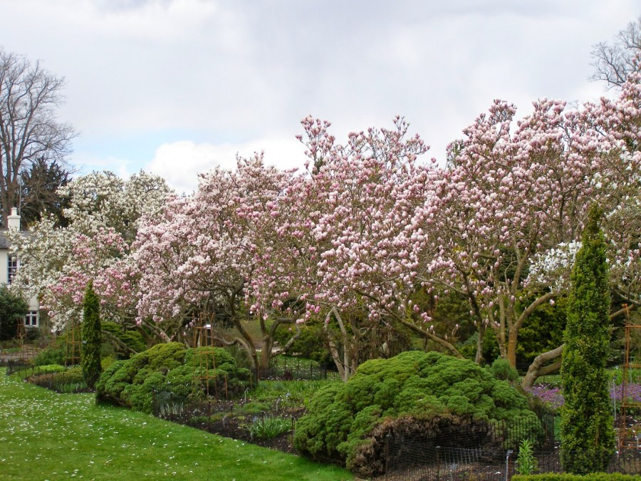 TSvetyi magnoliya 65