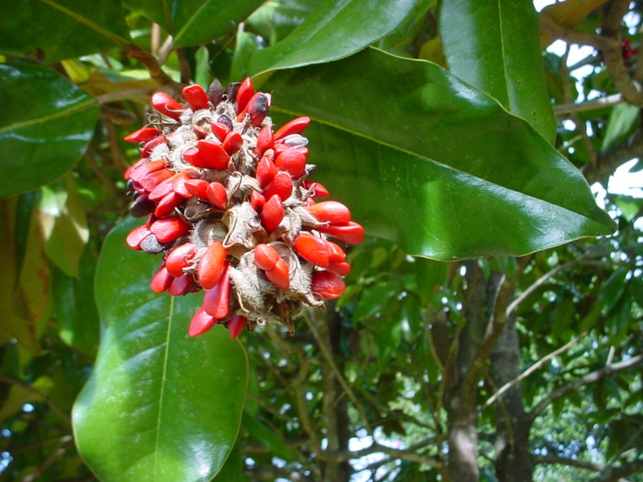TSvetyi magnoliya 67