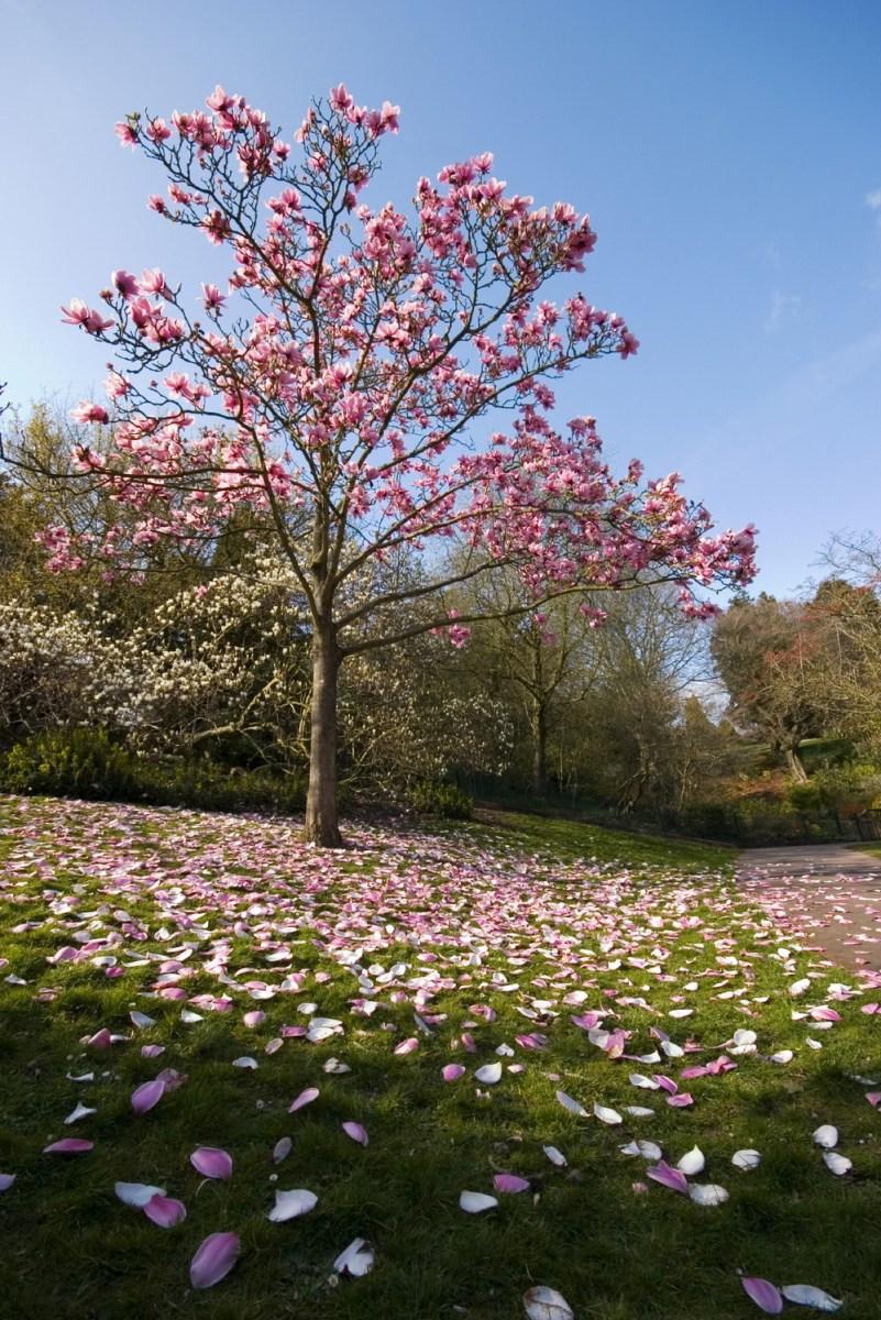 TSvetyi magnoliya 68