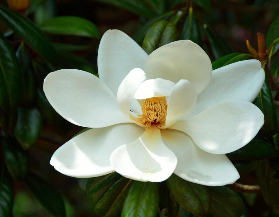 TSvetyi magnoliya 69