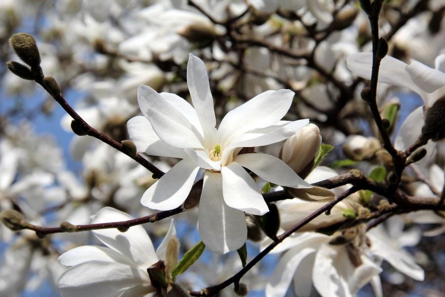 TSvetyi magnoliya 70