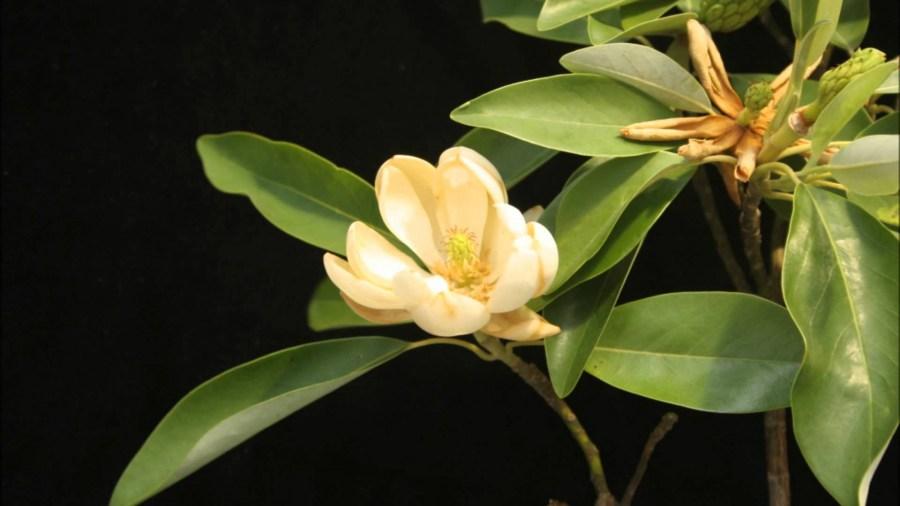 TSvetyi magnoliya 74