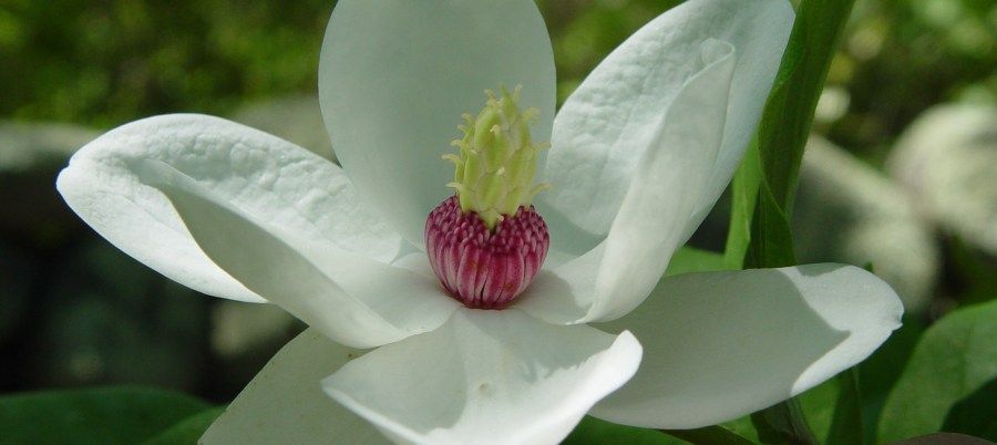 TSvetyi magnoliya 75