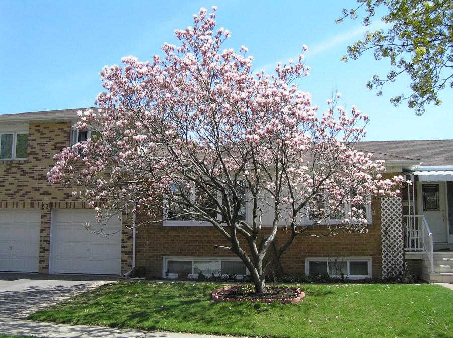 TSvetyi magnoliya 80