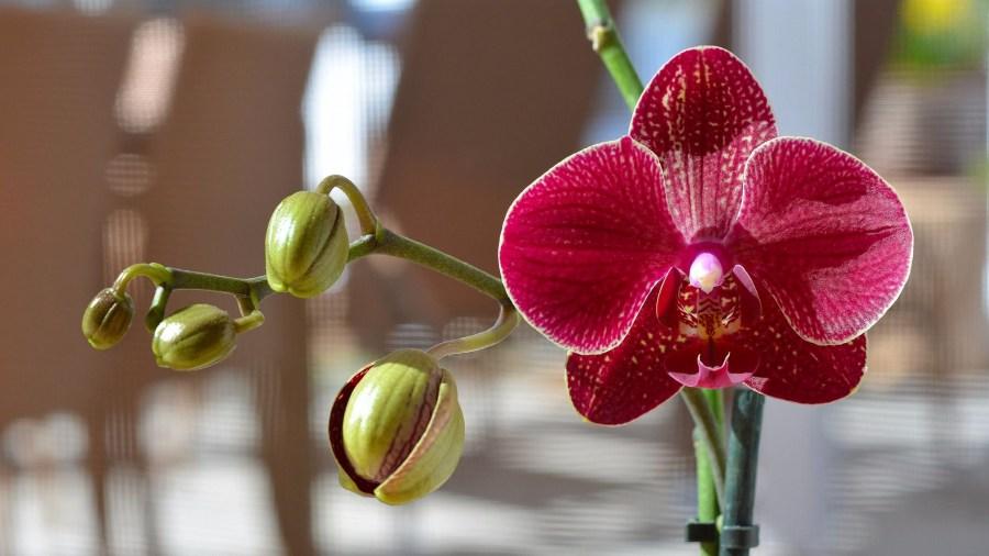Bunga Orkid Penanaman Pembiakan Berpakaian Dan Penjagaan Arahan 90 Gambar Orkid Yang Indah