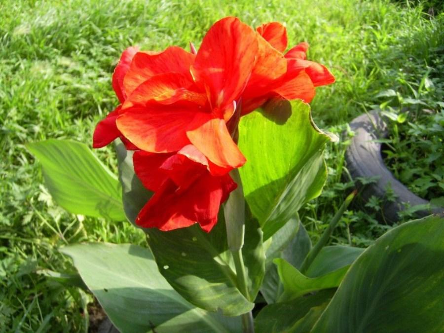 Kanna Kukka
